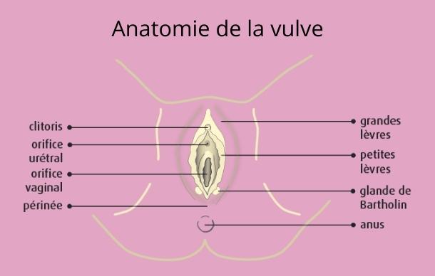 Anatomie Vulve
